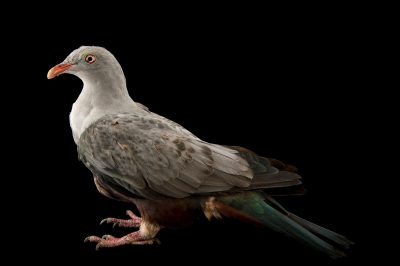 Photo: A spotted imperial pigeon (Ducula carola) at the Plzen Zoo in the Czech Republic.