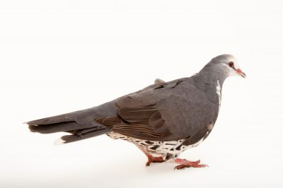 Photo: Wonga pigeon (Leucosarcia melanoleuca) at the Houston Zoo.