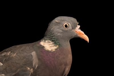 "Photo: A common woodpigeon (Columba palumbus palumbus) at Centro Fauna Selvatica ""Il Pettirosso""."