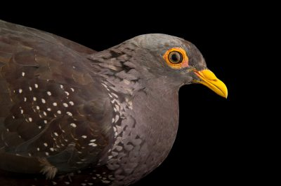 Photo: Africa olive pigeon (Columba arquatrix) from Le Parc des Oiseaux in Villars Les Dombes, France.