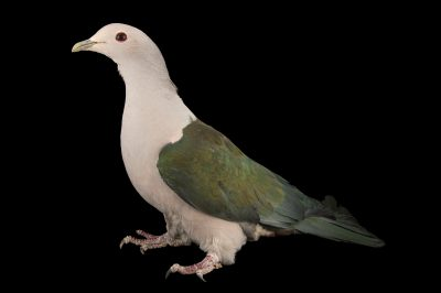 Photo: Green imperial pigeon (Ducula aenea aenea) at the Plzen Zoo in the Czech Republic.