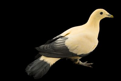 Photo: White imperial pigeon (Ducula luctuosa) at the Plzen Zoo in the Czech Republic.