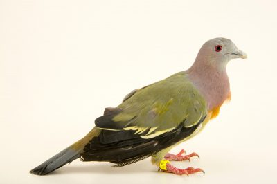 Photo: Pink necked green pigeon (Treron vernans) at the Plzen Zoo in the Czech Republic.