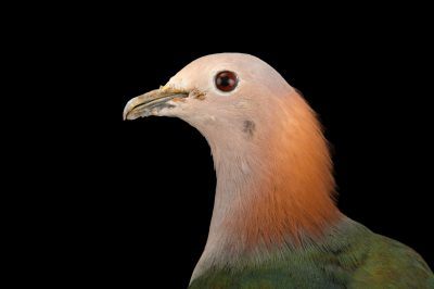 Photo: A chestnut-naped imperial pigeon (Ducula aenea paulina) at the Plzen Zoo in the Czech Republic.