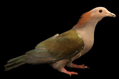 Photo: Chestnut naped imperial pigeon (Ducula aenea paulina) at the Exmoor Zoo.