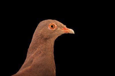 Photo: A male Peruvian pigeon (Patagioenas oenops) at the Cincinnati Zoo.