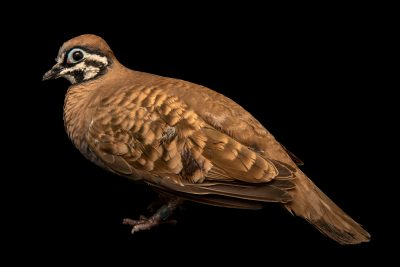 Photo: Squatter pigeon (Geophaps scripta) at Melbourne Zoo. This species is listed as vulnerable by IUCN.