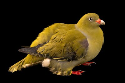 Photo: A male African green pigeon (Treron calvus) at the Dallas World Aquarium.