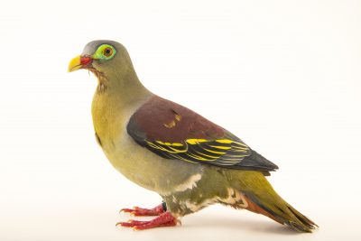 Photo: A thick-billed green pigeon (Treron curvirostra) at Jurong Bird Park, of Wildlife Reserves Singapore.