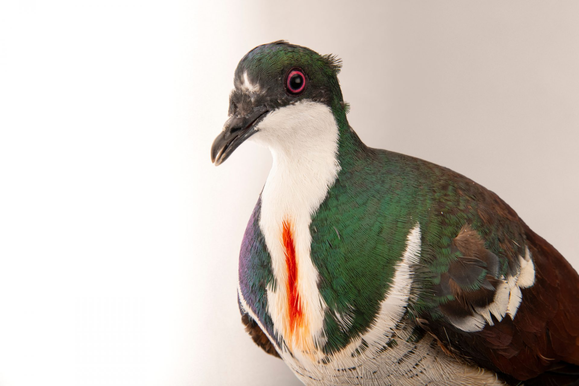 Photo: A critically endangered negros bleeding-heart pigeon, Gallicolumba keayi, at theTalarak Foundation.