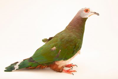 Photo: Pink-bellied imperial pigeon (Ducula poliocephala) at the Avilon Zoo.