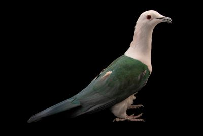 Photo: Green imperial pigeon (Ducula aenea aenea) at Eltoro Zoo de la Castellana, Inc., on Negros Island, Philippines.