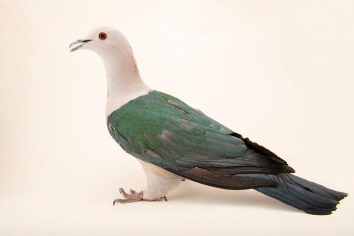 Photo: Green imperial pigeon (Ducula aenea aenea) at Eltoro Zoo de la Castellana, Inc., on Negros Island, Philippines.