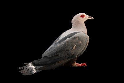 Photo: Pinon imperial pigeon (Ducula pinon pinon) at the Avilon Zoo.