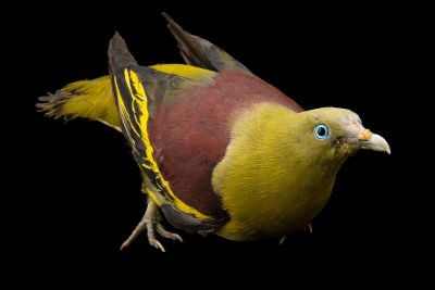 Photo: Philippine green pigeon (Treron axillaris) at the Avilon Zoo.