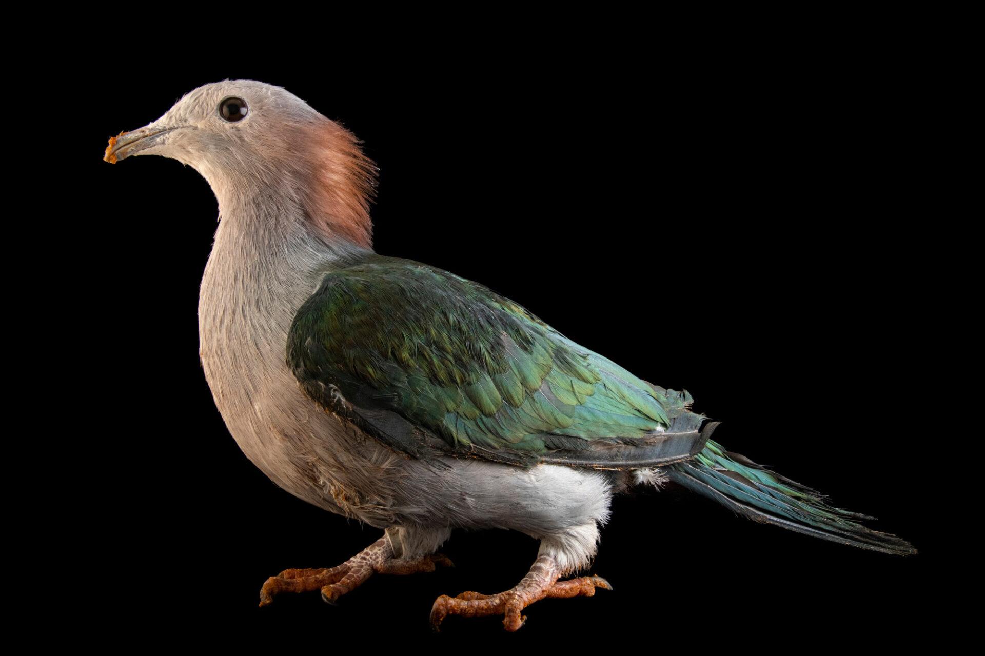 Photo: A chestnut-naped imperial pigeon (Ducula aenea paulina) at the Prague Zoo.