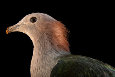 Photo: A chestnut-naped imperial pigeon (Ducula aenea paulina) at the Prague Zoo.