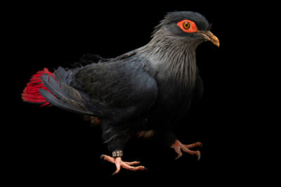 Photo: A Madagascan blue pigeon (Alectroenas madagascariensis) at the Plzen Zoo in the Czech Republic.