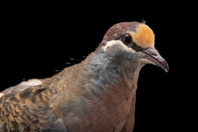Photo: A common bronzewing (Phaps chalcoptera) at the Prague Zoo.