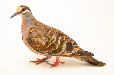 Photo: A common bronzewing (Phaps chalcoptera) at Zoo Plzeň.
