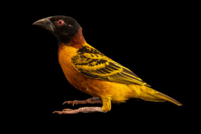 Photo: A male village weaver (Ploceus cucullatus) at the Prague Zoo.
