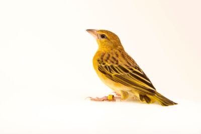 A female golden-backed weaver (Ploceus jacksoni) at Safari Park Dvur Kralove.