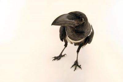 A pied crow (Corvus albus) at Zoo Atlanta.