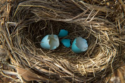 Photo: Hatched robin eggs in Lincoln, Nebraska.