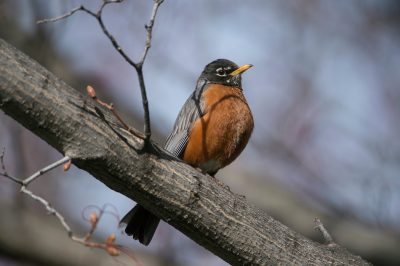 Photo: A robin perches in a tree near Lincoln, Nebraska.