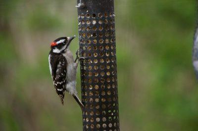 Photo: A downy woodpecker eats from a bird-feeder in Lincoln, Nebraska.