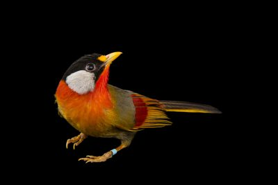 Photo: A silver-eared mesia, Leiothrix argentauris, at the Blank Park Zoo in Des Moines, Iowa.