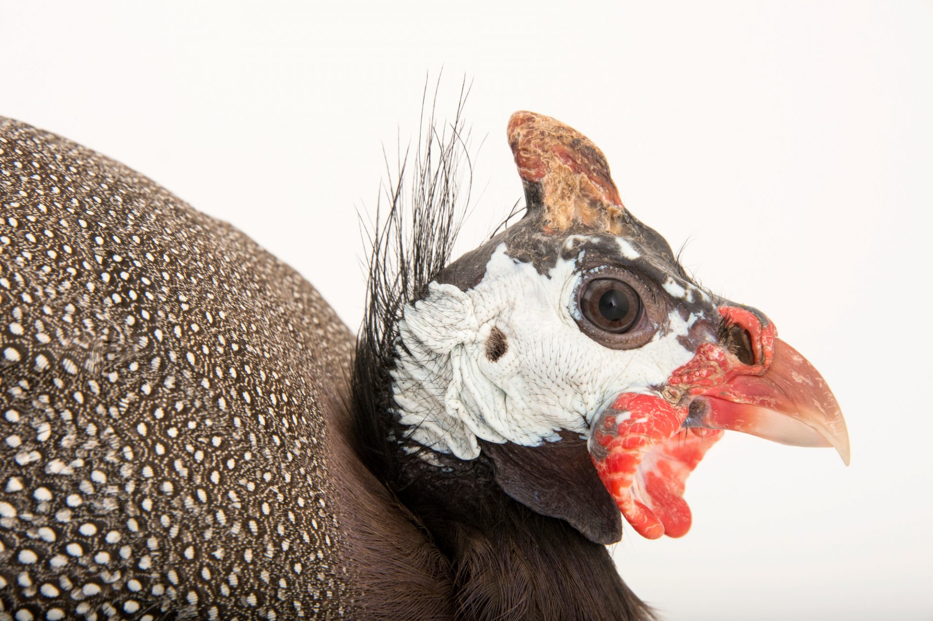 Photo: A helmeted guineafowl (Numida meleagris galeata) in Des Moines, Iowa.