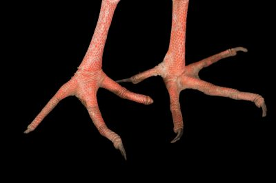 The feet of a Southern screamer (Chauna torquata) at the Kansas City Zoo.