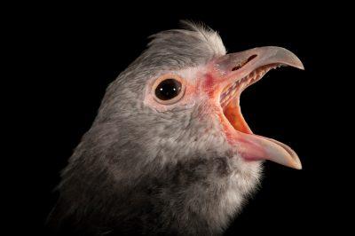 A Southern screamer (Chauna torquata) at the Kansas City Zoo.
