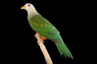 A wompoo fruit dove (Ptilinopus magnificus puella) at the Kansas City Zoo.