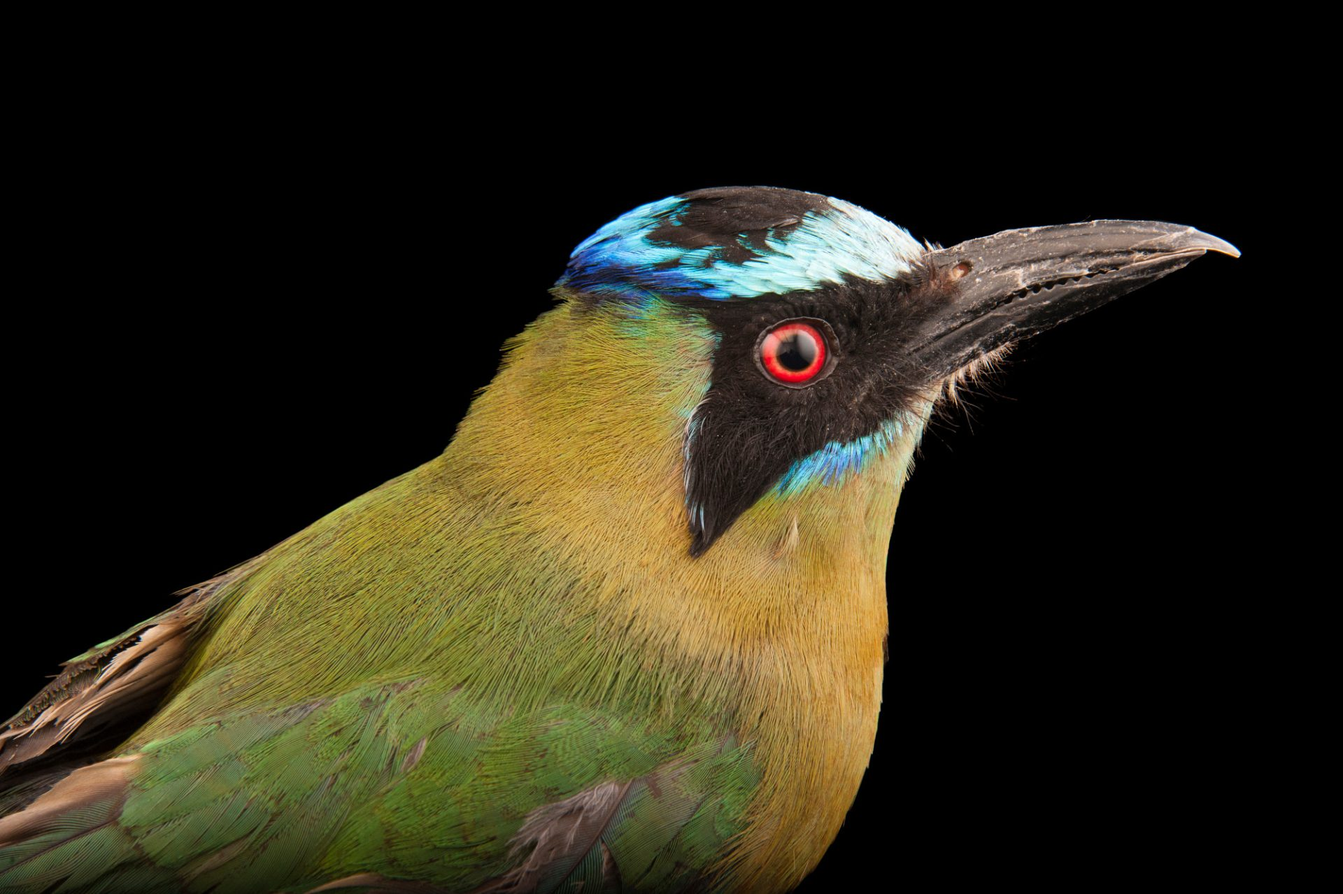 Picture of a blue-crowned motmot (Momotus momota) at Omaha's Henry Doorly Zoo and Aquarium.