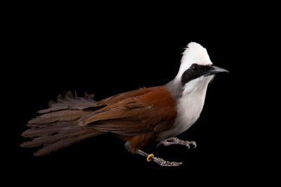 A white-crested laughing thrush (Garrulax leucolophus) at Omaha's Henry Doorly Zoo and Aquarium, Omaha, Nebraska.