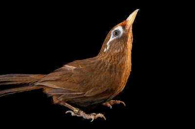 A Melodious laughing thrush (Garrluax canorus) at Omaha's Henry Doorly Zoo and Aquarium, Omaha, Nebraska.