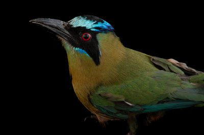 Picture of a blue crowned motmot (Momotus momota) at Omaha's Henry Doorly Zoo and Aquarium, Omaha, Nebraska.