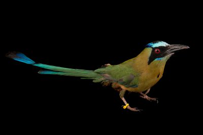 Picture of a blue-crowned motmot (Momotus momota) at Omaha's Henry Doorly Zoo and Aquarium, Omaha, Nebraska.