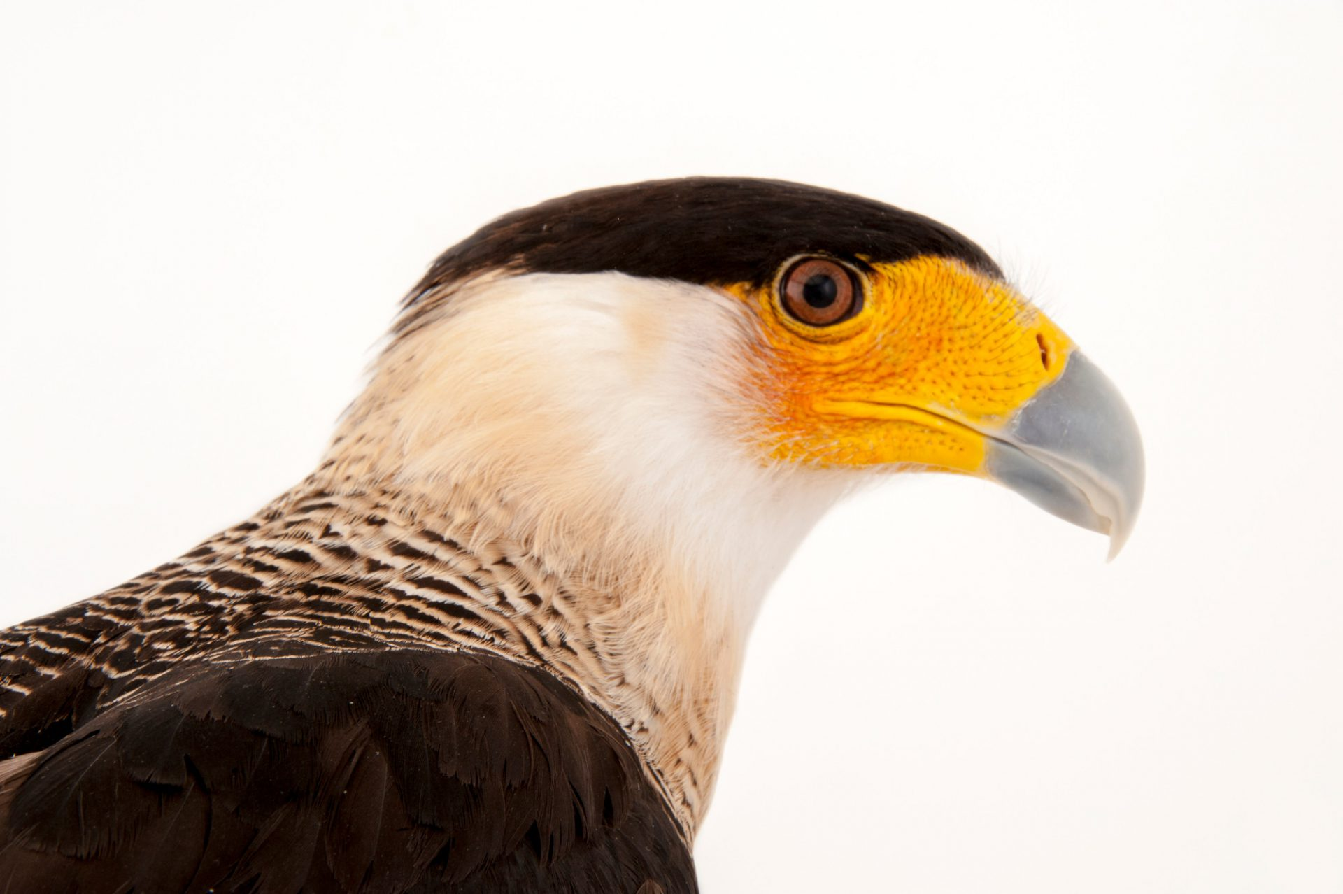 A southern crested caracara (Caracara plancus) at the Gladys Porter Zoo in Brownsville, Texas.