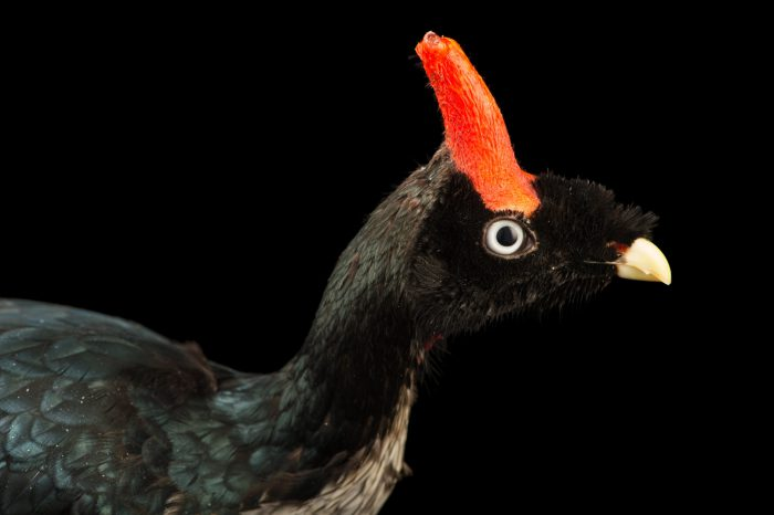 Picture of an endangered (IUCN) and federally endangered horned guan (Oreophasis derbianus) at the Saint Louis Zoo.