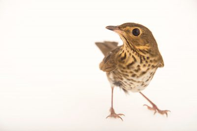 Picture of a Swainson's thrush (Catharus ustulatus), at St. Francis Wildlife Association, a wildlife rescue center near Quincy, Florida.