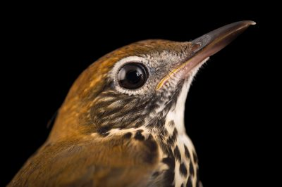 Picture of a wood thrush (Hylocichla mustelina) at St. Francis Wildlife Association, a wildlife rescue center near Quincy, Florida.
