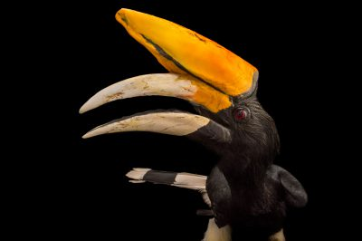Picture of a rhinoceros hornbill (Buceros rhinoceros rhinoceros) named Kronos at the Santa Barbara Zoo.
