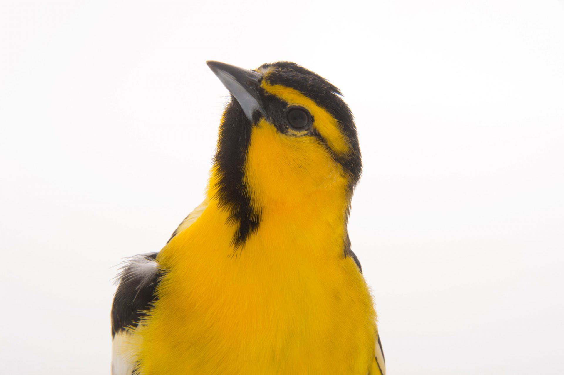 Picture of a Bullock's Oriole (Icterus bullockii) at the Sulphur Creek Nature Center.