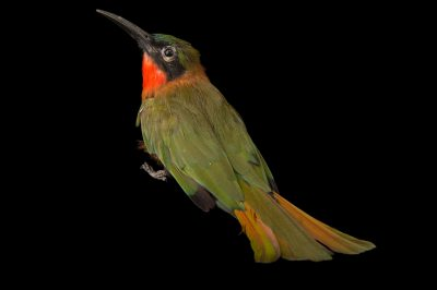 Photo: Red-throated bee-eater (Merops bulocki) at the Oklahoma City Zoo.