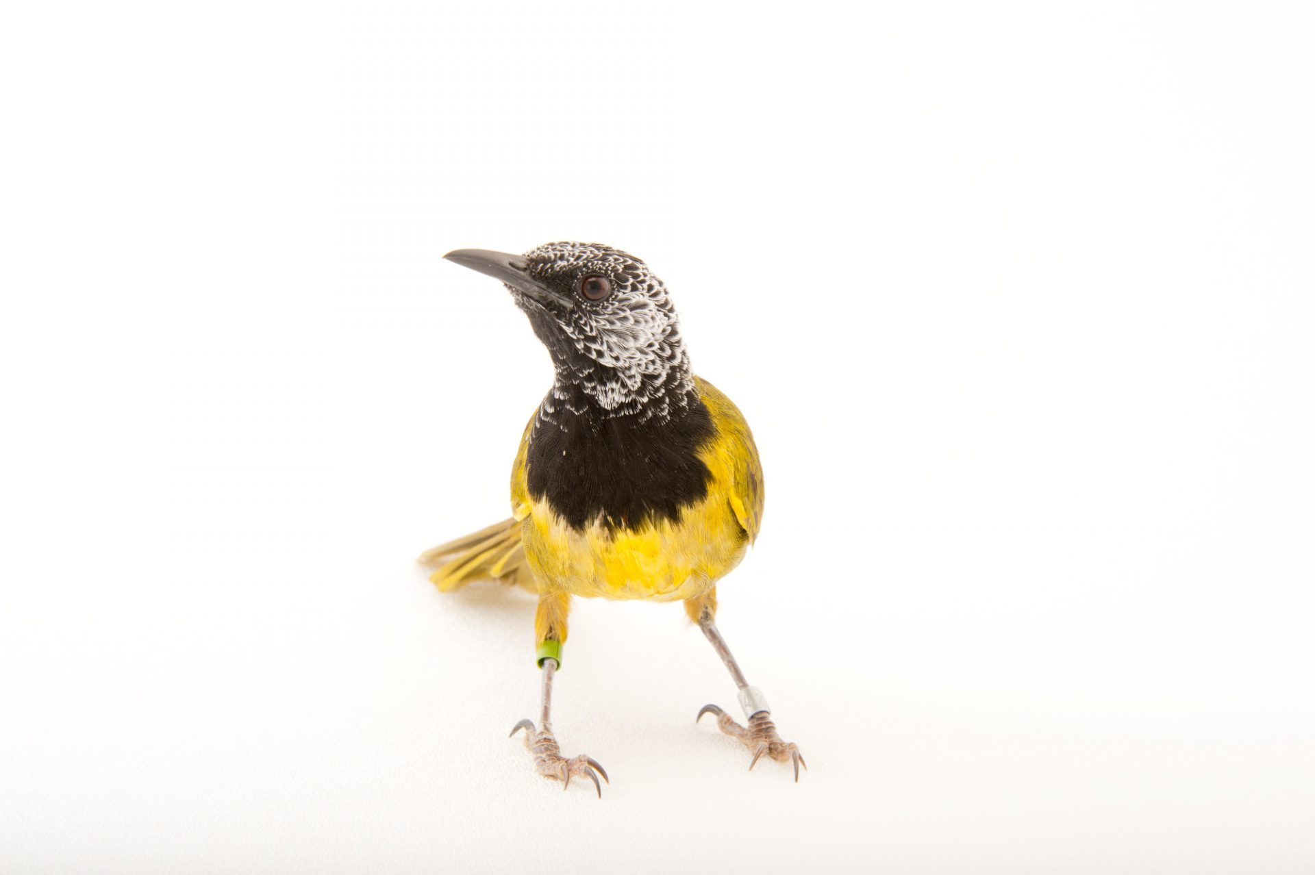 Photo: Oriole warbler (Hypergerus atriceps) at the Oklahoma City Zoo.