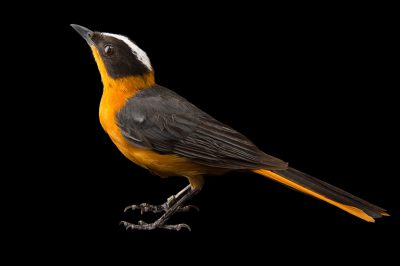 Photo: Snowy-crowned robin-chat (Cossypha niveicapilla) at the Oklahoma City Zoo.