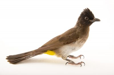 A common bulbul (Pycnonotus tricolor) at the Oklahoma City Zoo.